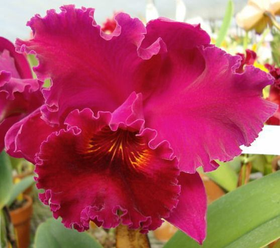 Cattleya Nigritian 'King of Kings'